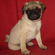 Long Island Pug Puppies
